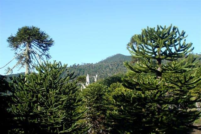 Copas de araucarias en Bosque Pehuén