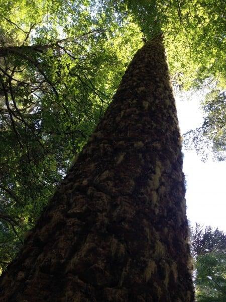 Tronco de gran tamaño en Bosque Pehuen