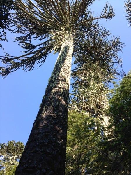 Araucaria Tree Study