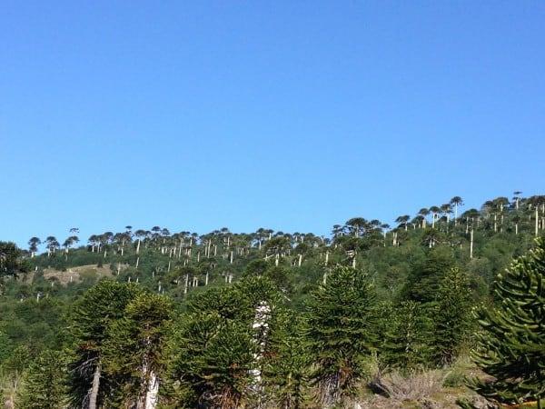 Bosque Pehuén