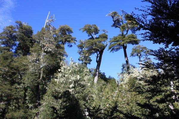 Coihues en Bosque Pehuén