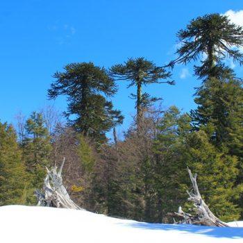 Luego de la nieve en Bosque Pehuén
