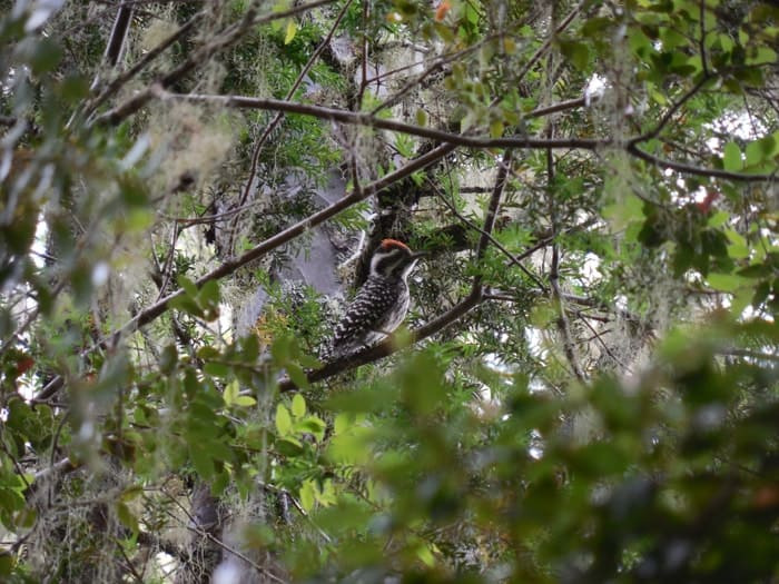 Small woodpecker