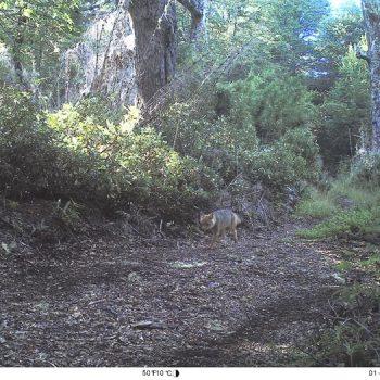 Zorro culpeo captado por las trampas cámara instaladas en el bosque