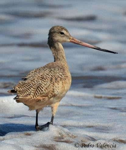 (English) Zarapito Moteado (Eskimo or Northern Curlew) bird