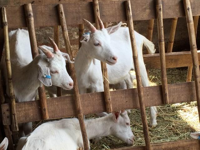 Cabras de Fundación Origen