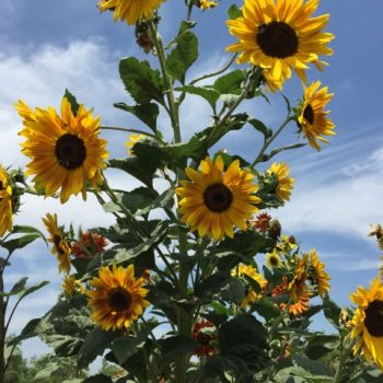Sunflowers in organic vegetable patch