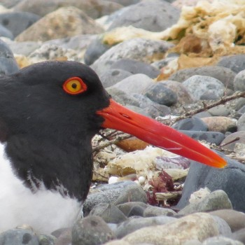 (English) Pilpilén (Magellanic Oystercatcher)