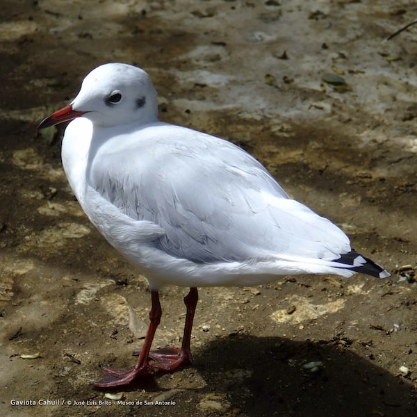 Cahuil Seagull