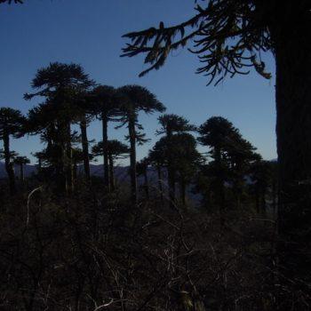 Legendarias araucarias en Bosque Pehuén