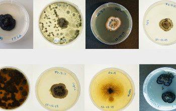 Fotografías tomadas por el artista Máximo Corvalán Pincheira de los hongos que posiblemente estarían afectando a la araucaria