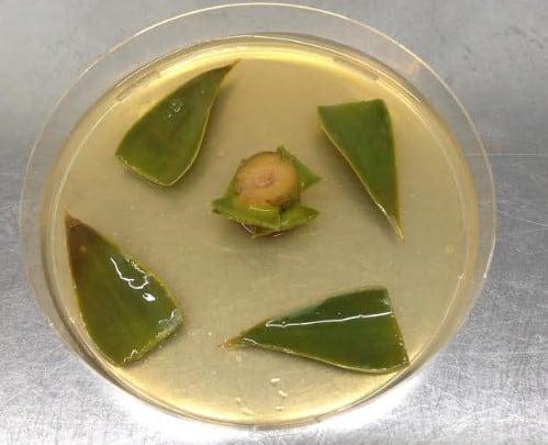 Muestra de araucaria en laboratorio