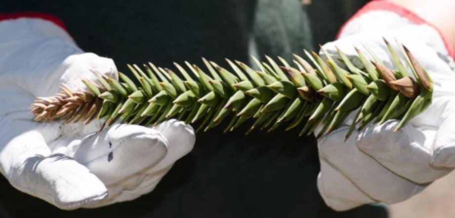 Muestra de araucaria recolectada en terreno