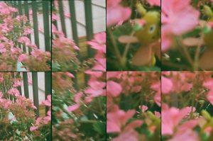 Diversas fotos de las mismas flores