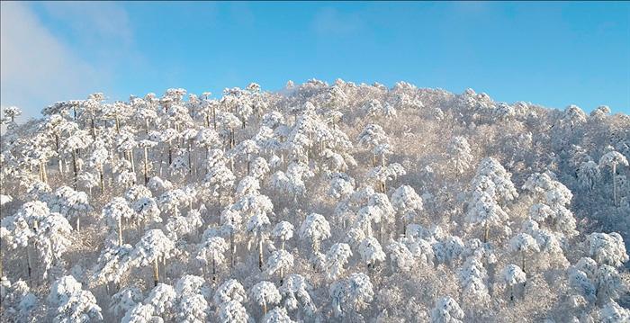 Bosque de araucarias con nieve