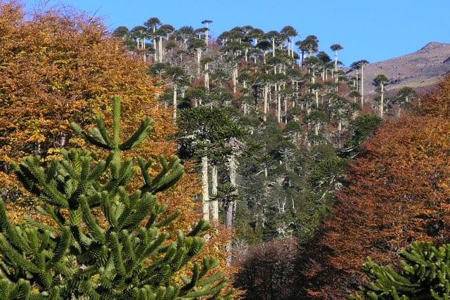 Bosque araucarias en otoño Bosque Pehuén