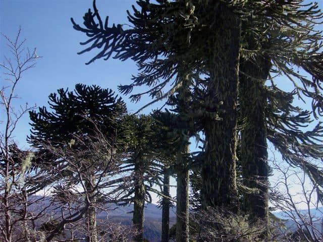Copas de araucarias Bosque Pehuén