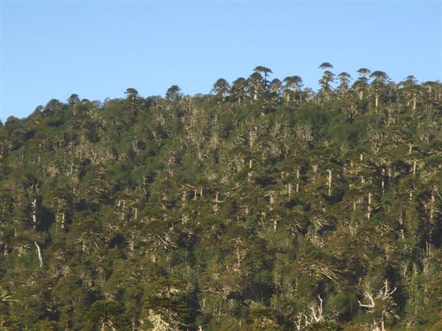 Bosque de Araucarias Bosque Pehuén