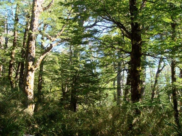 Árboles en Bosque Pehuén