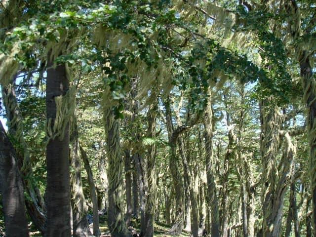 Árboles Bosque Pehuén
