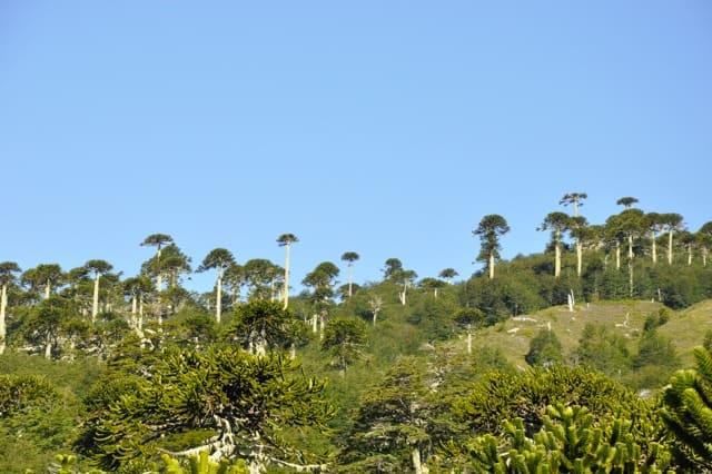Bosque de araucarias  en Bosque Pehuén