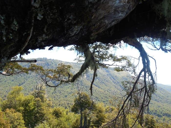 Bosque Pehuén, estudios de dosel