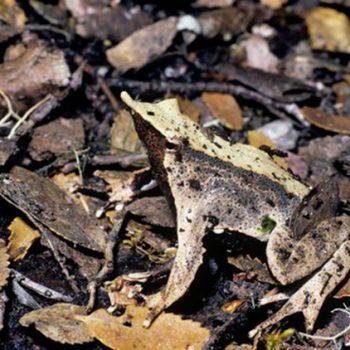Darwin's frog, Rhinoderma darwinii, camouflaged in leaf litter, Chile