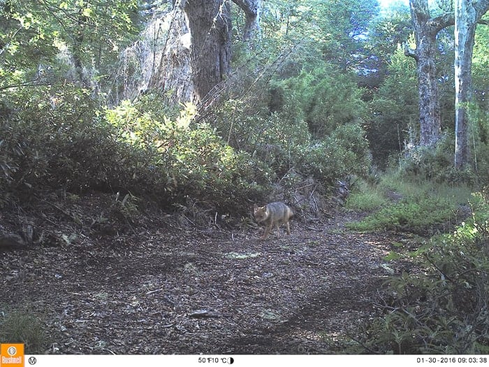 Culpeo fox photographed by camera traps installed in the fores