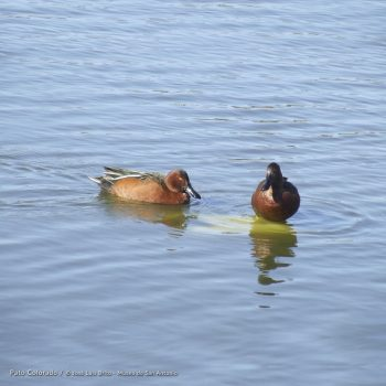 Ducks that are locally known as Colorado (Colored)