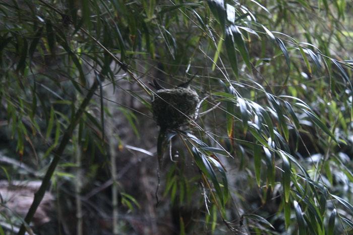 Nido de ave en Bosque Pehuén